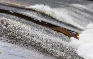 salmon-1107404_1280