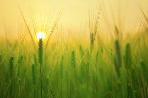 barley-field-1684052_1280